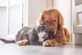 gray cat and golden retriever dog cuddling