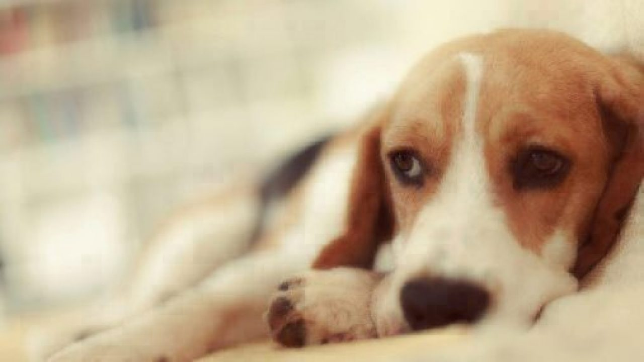Giardiasis And Coccidiosis In Puppies Healthy Paws