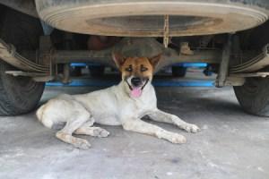 dog lying under car