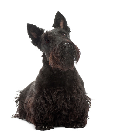 Dog Breed With Soft Undercoat And Wiry Overcoat