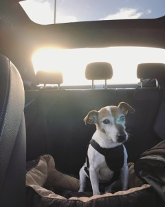 pet in safety harness in car