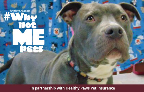 adoptable gray pit bull dog
