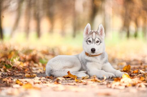 Siberian Husky Healthy Paws Pet Insurance