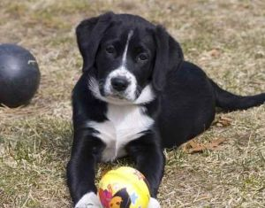 border collie labrador mix dog