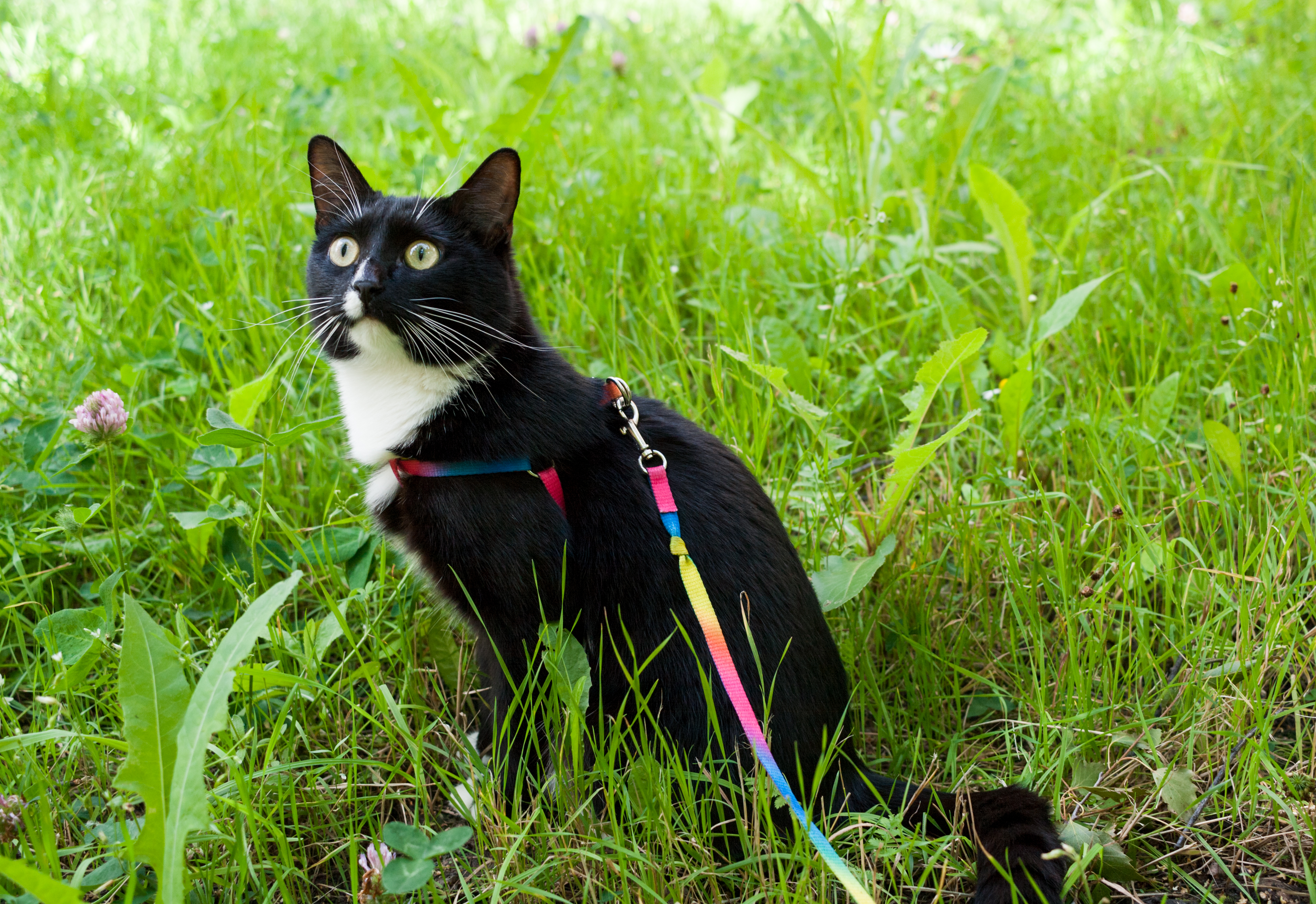 cat walking on a leash