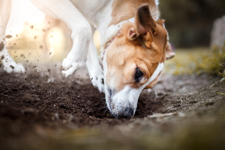 coccidia in dogs