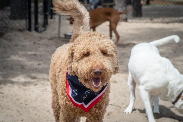 dog park goldendoodle