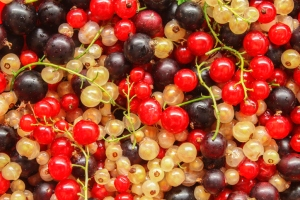 can dogs eat currants