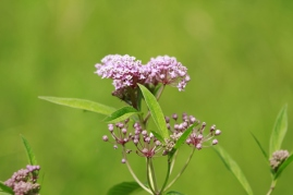 milkweed is toxic to pets