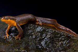 Orange Bellied Rough Skinned Newt