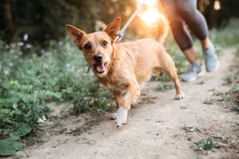 dog outside walking on trail