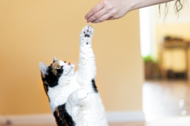 cat reaching for treat