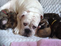 Bulldog with puppies