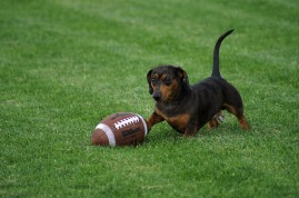 dachshund dog with football on grass