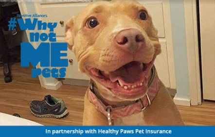 Kenzie the pit bull needs a home