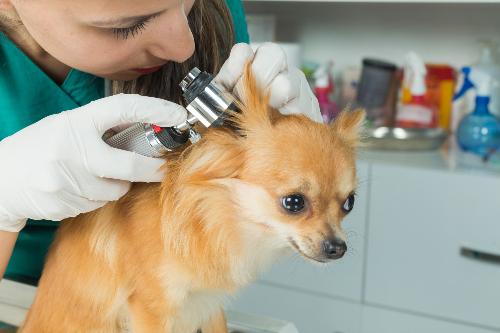 vet checking dog's ear