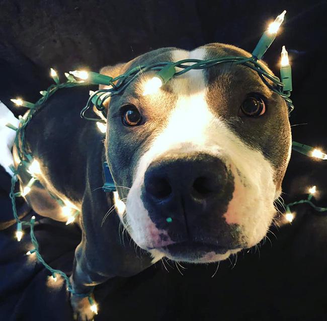 Pit bull in lights