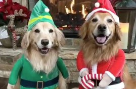 Golden Retrievers dressed up