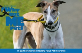 Troy the greyhound needs a home