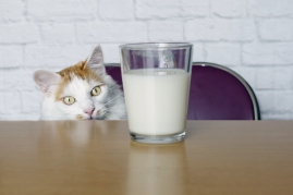cat looking at glass of milk