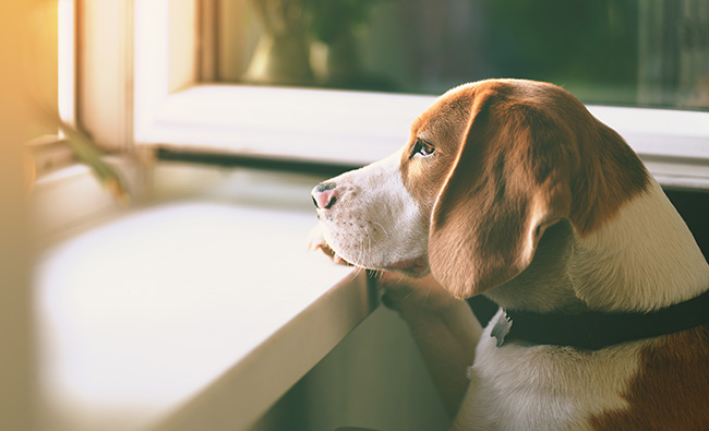 Dog looking out window waiting