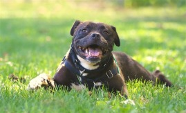 black dog smiling in the grass