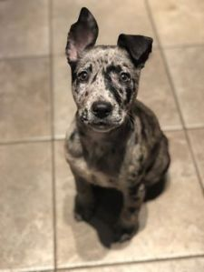 gray and black speckled puppy