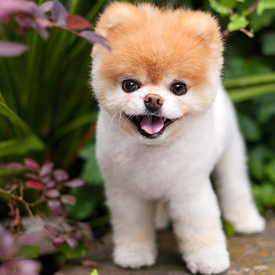 Boo - world's cutest dog