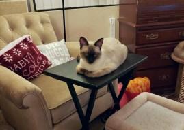cat on tv tray