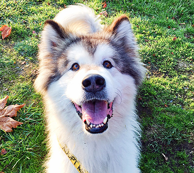 Hannah the malamute needs a home