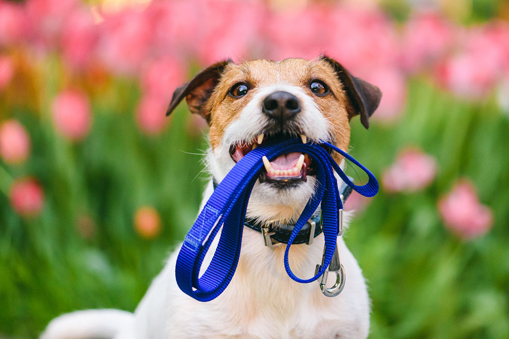 Dog with leash: Toxic plants are a spring hazard for pets