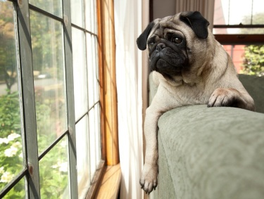 dog on couch looking out window