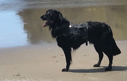 Neon, flat-coated retriever survives cancer
