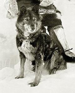 Togo the sled dog