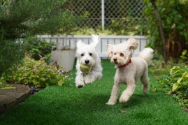two dogs playing in backyard