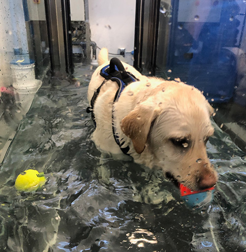 Labrador doing hydrotherapy