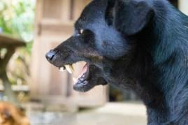 snarling aggressive dog