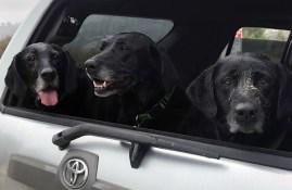 Three old black labs