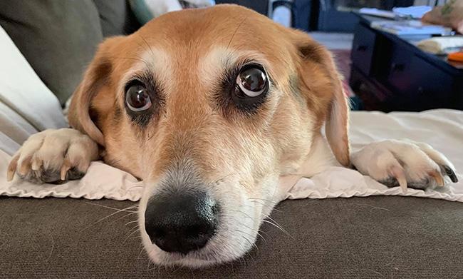 A senior dog