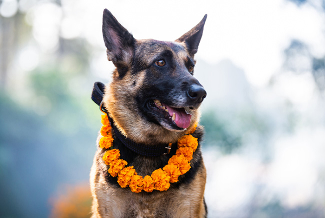 A dog celebrated in Nepal