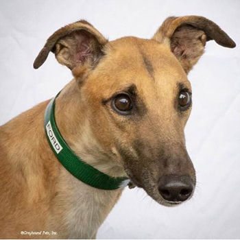 Ford the Greyhound