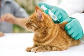 orange cat at the vet