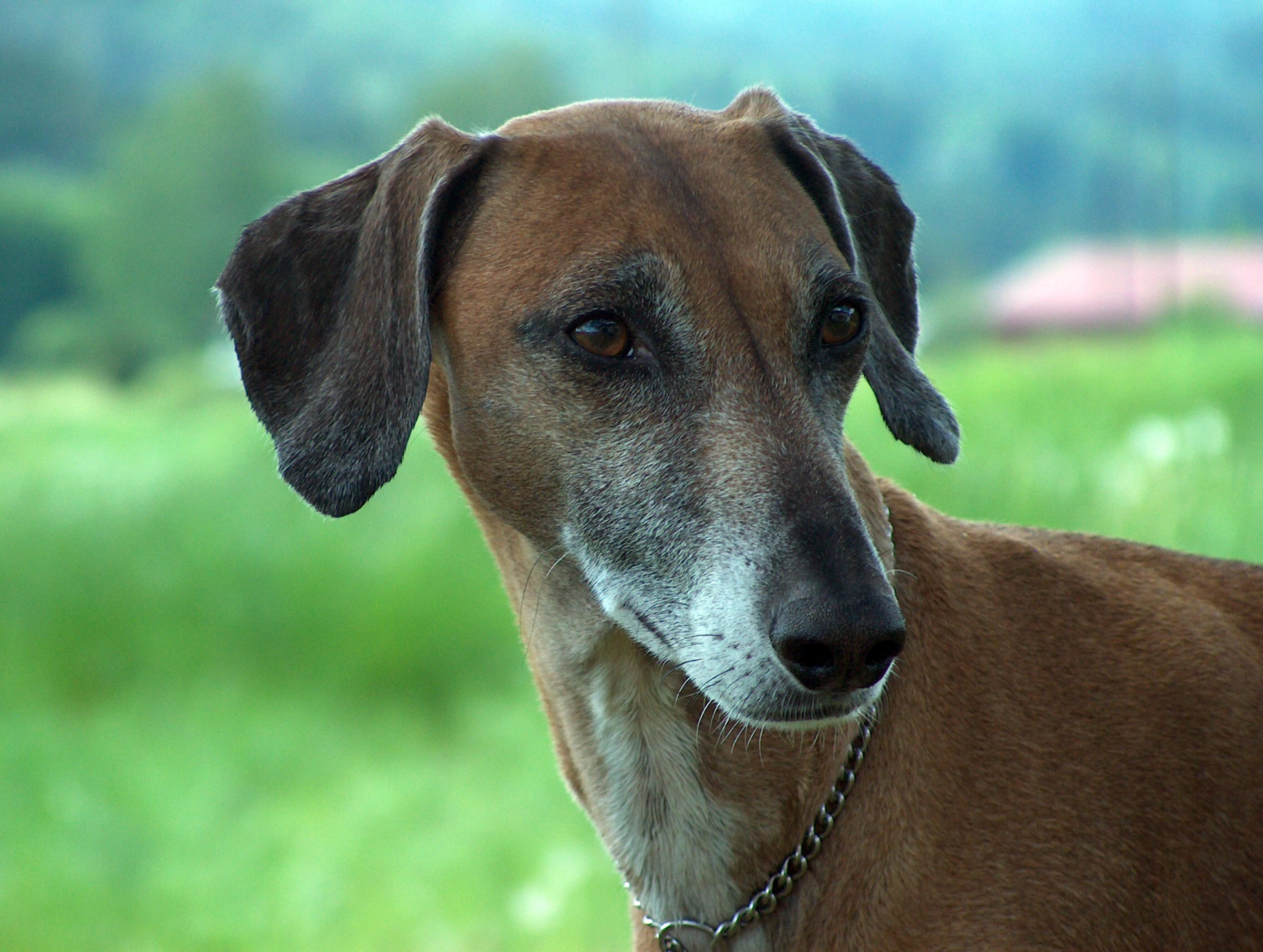 Azawakh dog breeds