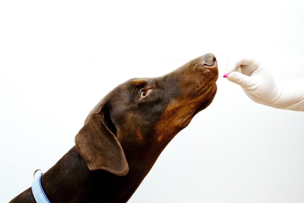 Dog taking a Benadryl