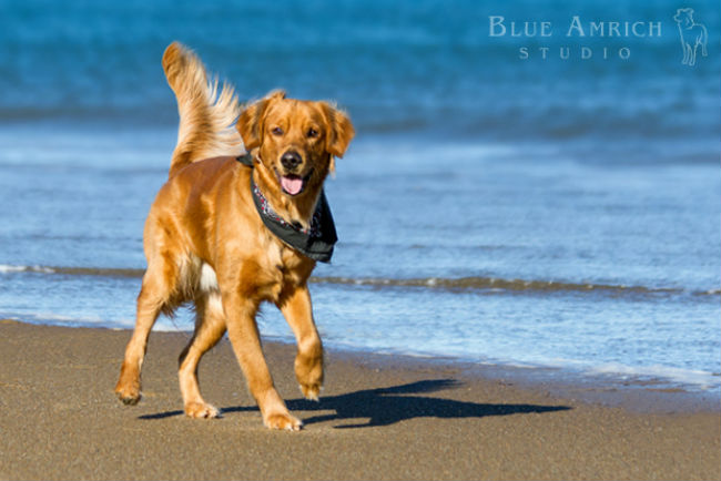 Blue-Amrich_Golden 1-revised