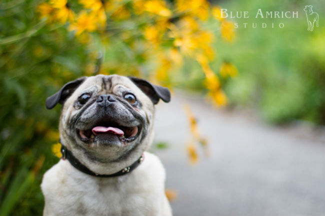 Blue-Amrich_Pug-revised