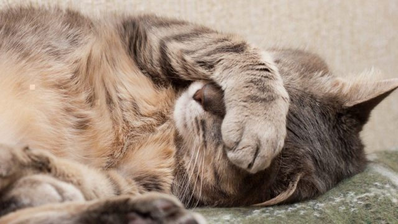 Cats and health problems in humans