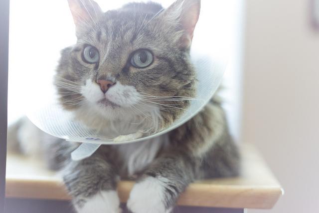 cat cone of shame