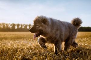 Caucasian_Ovchenka_dog_breeds_640x420.jpg