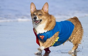 Corgi_superhero_costume_beach.JPG